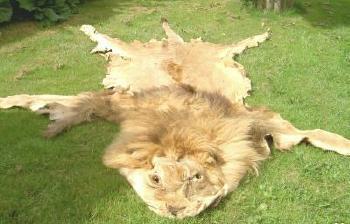 Lion_divorced