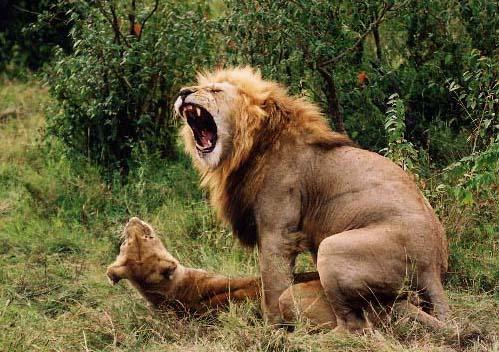 Lion_single