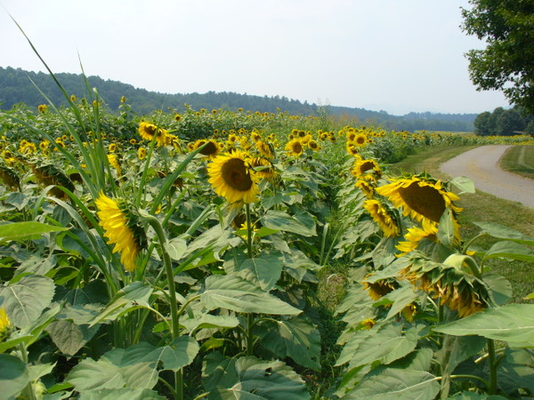 Sunflowers_biltmore2_2