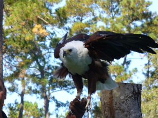 African_fish_eagle_3