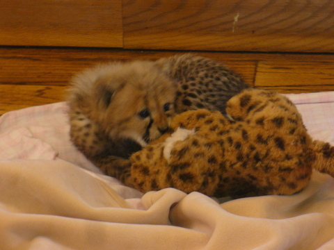 Cheetah_cub_and_stuffed_animal
