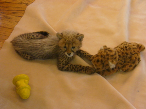 Cheetah_cub_and_toys_4