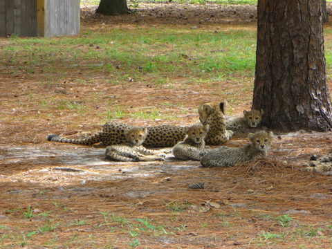More_cheetah_cubs