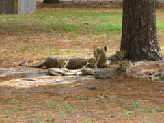 Cheetah_cubs_2