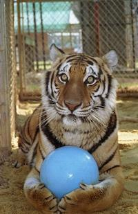 Tiger_with_ball_1
