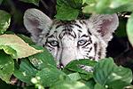 White_cub