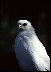 White_falcon